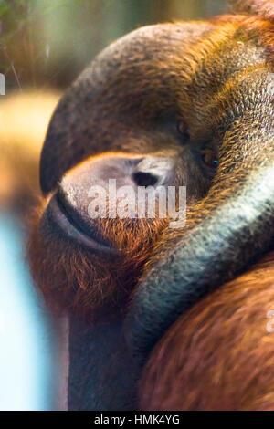 Mâle mature Orangutan (Pongo pygmaeus) Banque D'Images