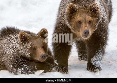 Portrait de deux 1 ans d'oursons ours brun (Ursus arctos arctos) dans la neige en hiver Banque D'Images