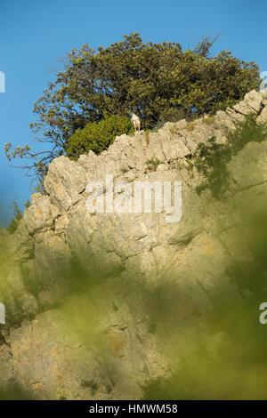 Aigle de Bonelli Aquila fasciata, mâle adulte, perché sur la falaise, près de Béziers, Hérault, France en juin. Banque D'Images