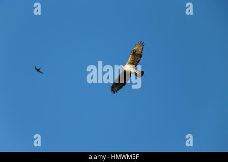 Aigle de Bonelli Aquila fasciata, femelle adulte, en vol sur fond de ciel bleu avec swift Apus apus, commune proche de Béziers, Hérault, France en juin.