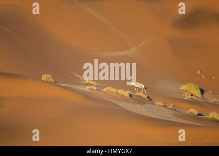 Oryx marche à travers les dunes de Sossusvlei. Banque D'Images