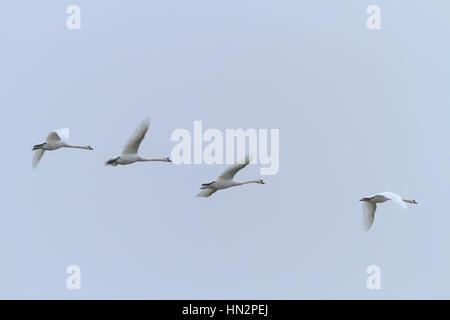 Mute Swan (Cygnus olor) groupe de quatre en vol. La Basse Silésie. La Pologne. Banque D'Images