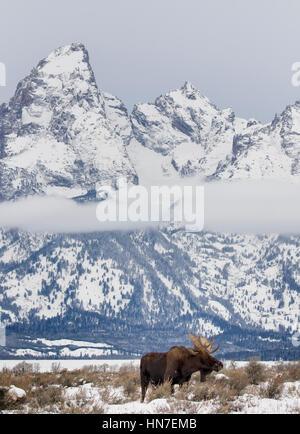 Bull Moose debout dans les prairies d'armoise avec Tetons