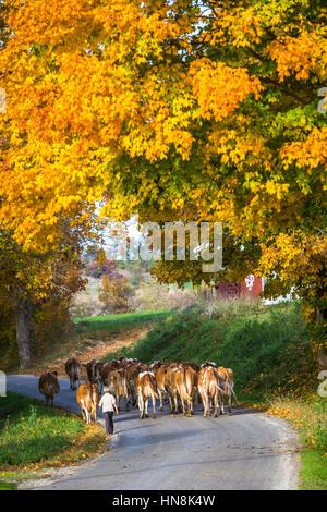 Les vaches qui traversent la route avec la couleur des feuilles d'automne près de charme, Ohio, USA. Banque D'Images