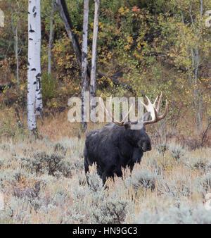 Bull Moose maturité parmi les trembles et les peupliers dans la prairie d'Armoise