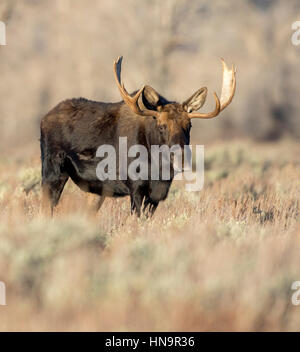Bull Moose standing in meadow armoise en automne