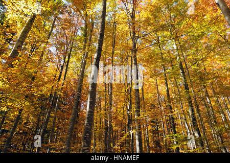 Belle forêt d'or de la cime des arbres à l'automne comme à partir de conte de fées. Banque D'Images