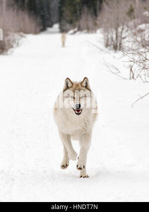 Deux loups gris; Canus lupus; British Columbia, Canada