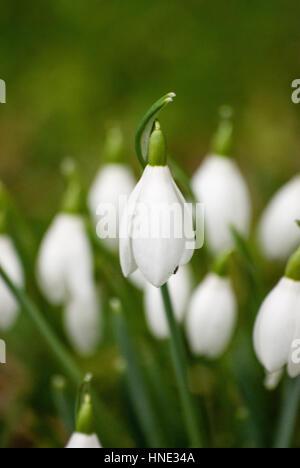 Perce-neige sauvage au Pays de Galles, Royaume-Uni Banque D'Images