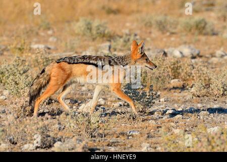 Le chacal à dos noir (Canis mesomelas), la marche sur sol aride, Etosha National Park, Namibie Banque D'Images