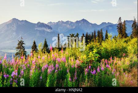 Fleurs sauvages au coucher du soleil dans les montagnes. La Pologne. Zakopane Banque D'Images