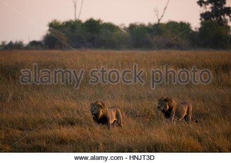 Deux lions mâles, Panthera leo, patrouiller leur territoire au coucher du soleil. Banque D'Images