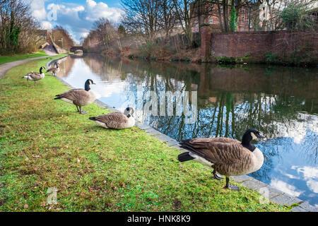 Canards sauvages au Canal de Birmingham Banque D'Images