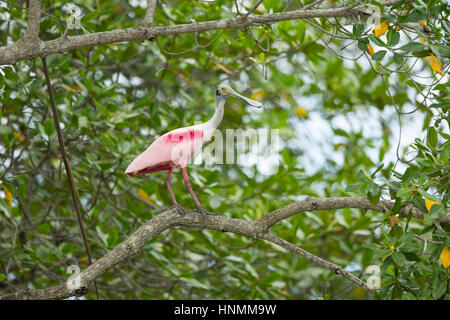 Roseate spoonbill Platalea ajaja, adulte, perché dans les arbres, les mangroves Churute Réserve écologique, l'Equateur Banque D'Images