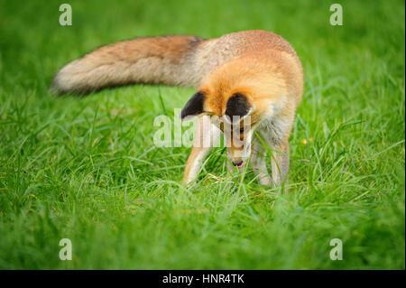 Red Fox à la recherche permanent jusqu'à l'herbe verte à partir de la vue de face avec la queue sur le côté Banque D'Images
