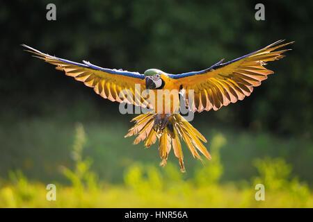 Vue avant à l'atterrissage jaune et bleu - Ara Ara ararauna avec rétro-éclairage en fond vert Banque D'Images
