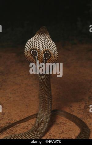 Cobra à lunettes, Naja naja, Bangalore, Karnataka. Le cobra indien est l'une des quatre grandes espèces venimeuses Banque D'Images