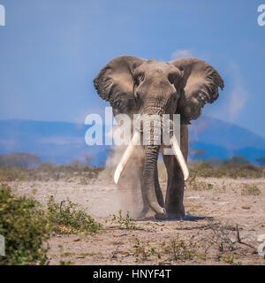 Vieux éléphant, parc national d'Amboseli, Kenya Banque D'Images