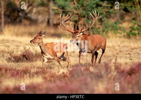 Red Deer (Cervus elaphus), Hoge Veluwe, Pays-Bas, Europe, mâles et femelles adultes Banque D'Images