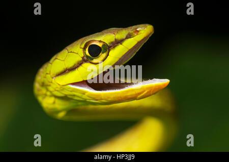 Natter (Oxybelis brevirostris), animal portrait, forêt amazonienne, Canande River Nature Reserve, Choco, forêt Équateur