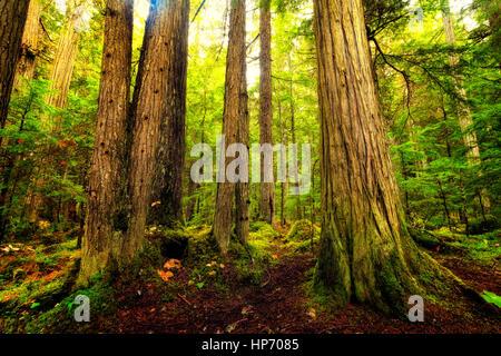 Les vieux peuplements de forêt tropicale, Mt Robson National Park, British Columbia, Canada Banque D'Images