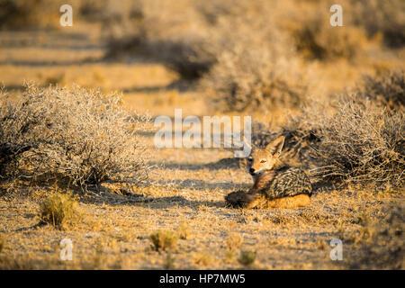 Le Chacal à dos noir, Canis mesomelas, Etosha National Park, Namibie, l'Afrique, par Monika Hrdinova/Dembinsky Assoc Banque D'Images