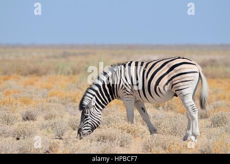 Le zèbre de Burchell (Equus quagga burchellii), le pâturage dans les steppes arides, Etosha National Park, Namibie, Banque D'Images