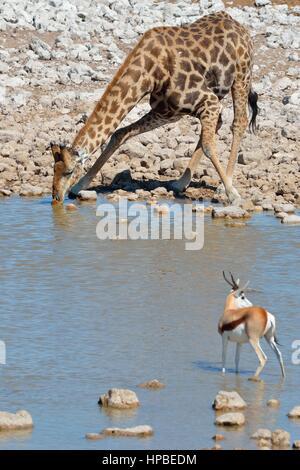Girafe angolais en Namibie ou Girafe (Giraffa giraffa angolensis), boire au waterhole, springbok en premier plan, Banque D'Images