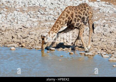 Girafe angolais en Namibie ou Girafe (Giraffa giraffa angolensis), boire à Waterhole, Etosha National Park, Namibie, Banque D'Images