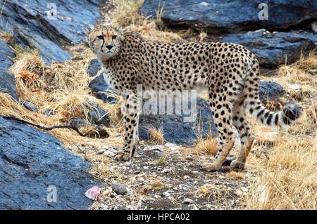 Beau Guépard d'Afrique sauvage dans la savane de la Namibie Banque D'Images