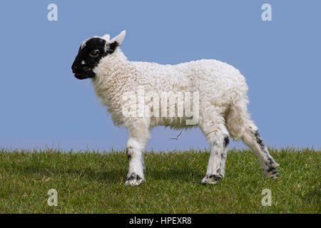 Le noir et blanc mouton domestique agneau dans un pré, Frise du Nord, Schleswig-Holstein, Allemagne Banque D'Images