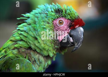 Scruffy ara vert avec plumes bleu vert rose et rouge et les marques sur le visage, Santa Marta, Colombie. Banque D'Images