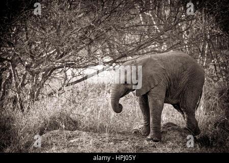 Une image en noir et blanc d'une brousse africaine Elephant debout dans le bush (traitement artistique) Banque D'Images