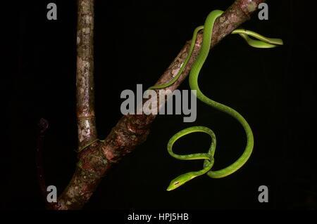 Un serpent vert vif Whip Oriental (Ahaetulla prasina) dans la forêt tropicale dans la nuit dans le Parc National de Kubah, Sarawak, l'Est de la Malaisie, Bornéo Banque D'Images