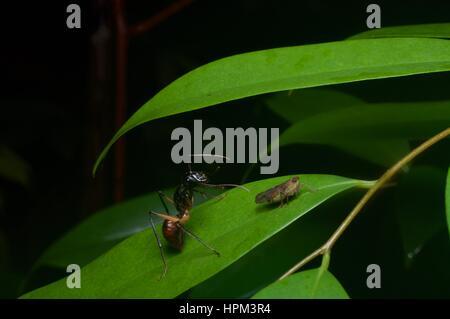 Une forêt géante (Dinomyrmex Ant gigas) et petites (Cicadellidae) sur une feuille dans la forêt tropicale dans le Banque D'Images