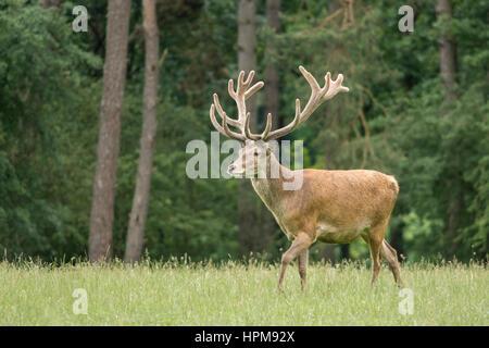 Un cerf en velours de jeu marchant dans un pré. Cervus elaphus. Un cerf rouge pendant la saison des amours Banque D'Images