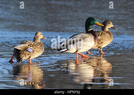 Trois canards mulards marcher sur un étang gelé Banque D'Images