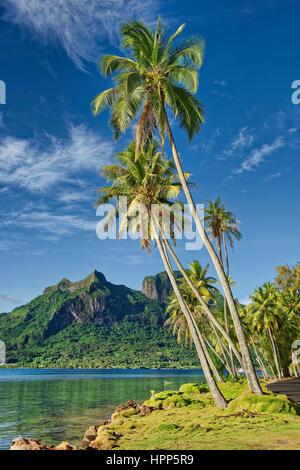 Palmiers en face de Pofai volcanique le Mont Otemanu en baie, Bora Bora, îles de la société, Polynésie Française Banque D'Images