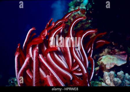 Les bras de cette featherstar (Oxycomanthus bennetti rouge) sont entièrement déployée dans le courant afin de capturer Banque D'Images
