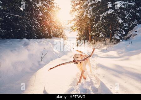 Chien en hiver la nature. Labrador Retriever jaune marche avec bâton dans la bouche. Banque D'Images