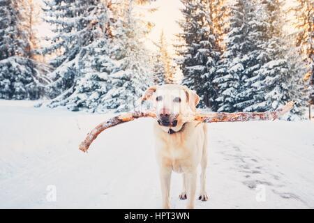 Chien en hiver la nature. Labrador Retriever jaune marche avec bâton dans la bouche pendant le coucher du soleil Banque D'Images