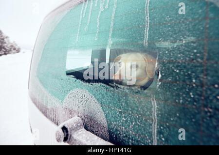 Voyager avec chien. Labrador Retriever jaune à la recherche d'une fenêtre de la voiture dans la nature enneigée. Banque D'Images