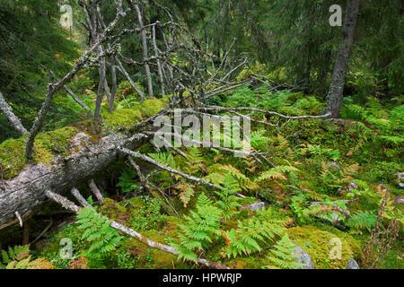 Tronc d'arbres couverts de mousse laissés à pourrir dans les forêts anciennes / forêts anciennes comme le bois mort, Banque D'Images