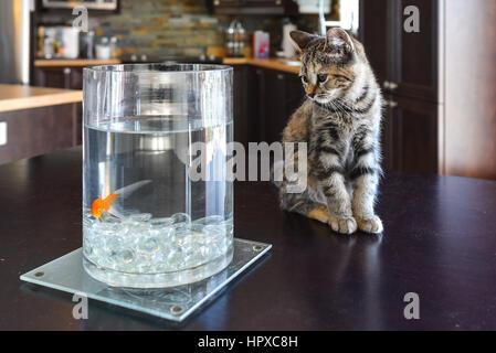 Brown Marble Tabby kitten regarder les poissons rouges sur table de cuisine