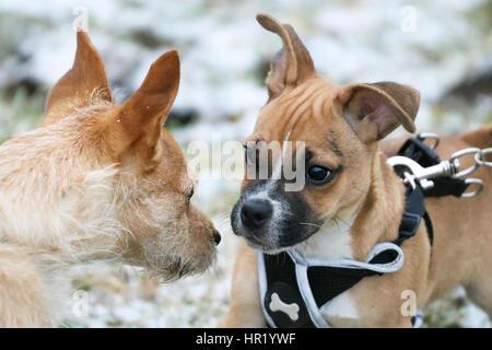 Verseuse (Pug) cross Jack Russell chiot sur première promenade se faire des amis avec un autre chien Banque D'Images