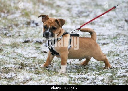 Verseuse (Pug) cross Jack Russell chiot sur première promenade Banque D'Images