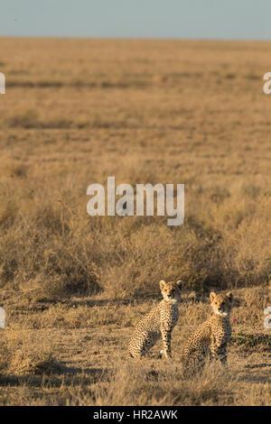 Cheetah cubs assis tranquillement dans l'herbe après avoir été effrayés par le passage d'une hyène. Banque D'Images
