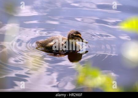 Les canards et les canetons nageant à Glencoe Lochan Banque D'Images