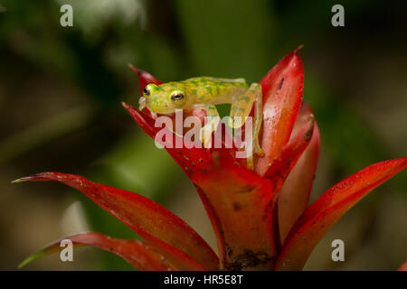 La grenouille de verre réticulée, Hyalinobatrachium valerioi, est une grenouille nocturne trouvés dans la forêt Banque D'Images