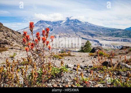 Fleurs sauvages et de Mont Saint Helens dans Mont St Helens Monument Volcanique National, Washington, USA. Banque D'Images